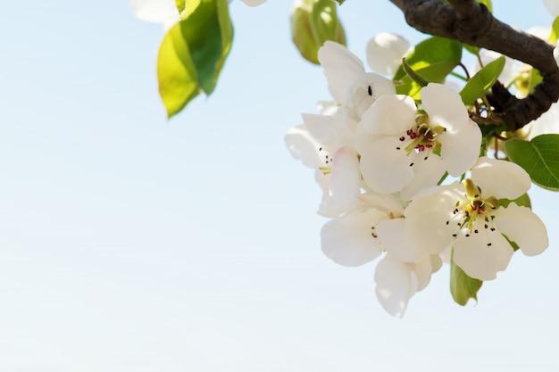 Kwitnąca gałąź gruszy. kwitnący wiosenny ogród. kwiaty gruszy z bliska. rozmazane tło. kwiat gruszy wczesną wiosną