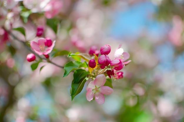 Kwitnąca gałąź jabłczani kwiaty i pączki jabłko. gałąź jabłoń z zielonymi liśćmi. koncepcja wiosna.