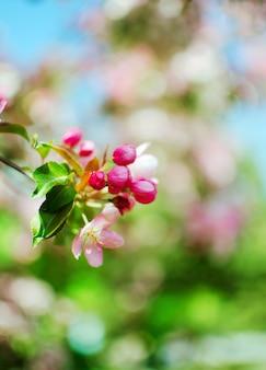 Kwitnąca gałąź jabłczani kwiaty i pączki jabłko. gałąź jabłoń z zielonymi liśćmi.