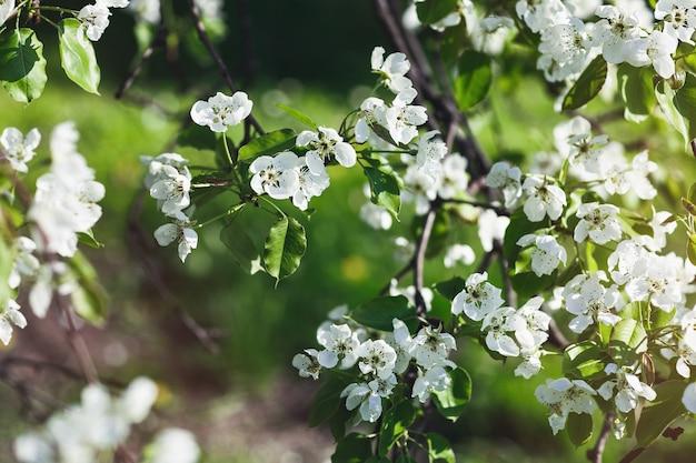 Kwitnąca gałąź jabłoni, koncepcja wczesną wiosną