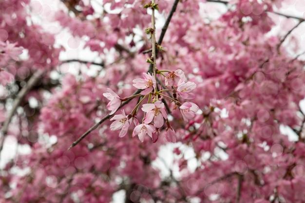 Kwitnąca gałąź jabłoni na wiosnę