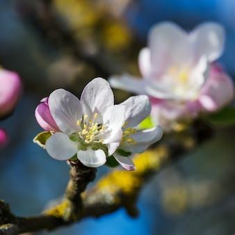 Kwitnąca gałąź jabłoni na wiosnę.