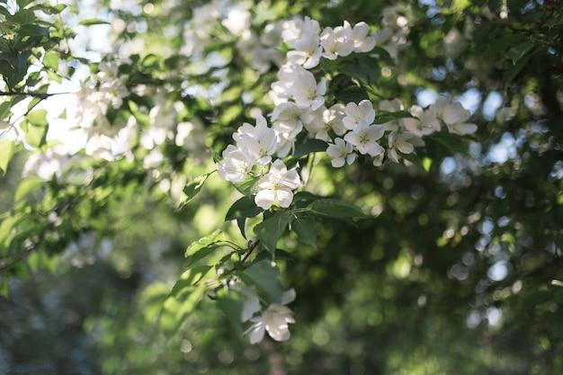 Kwitnąca gałąź jabłoni w wiosennym słońcu