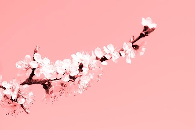 Kwitnąca gałąź moreli na delikatnym tle różowego pastelowego koloru. czas wiosenny