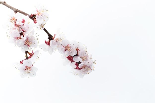 Kwitnąca gałąź owoców