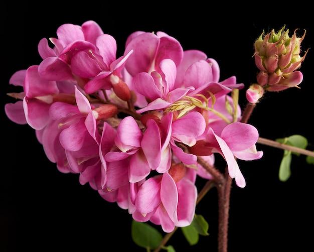Kwitnąca gałąź robinia neomexicana z różowym kwiatostanem