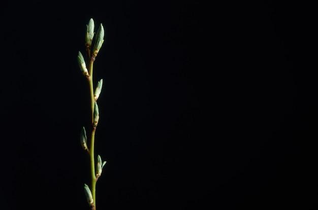 Kwitnąca gałąź śliwki na czarnym tle
