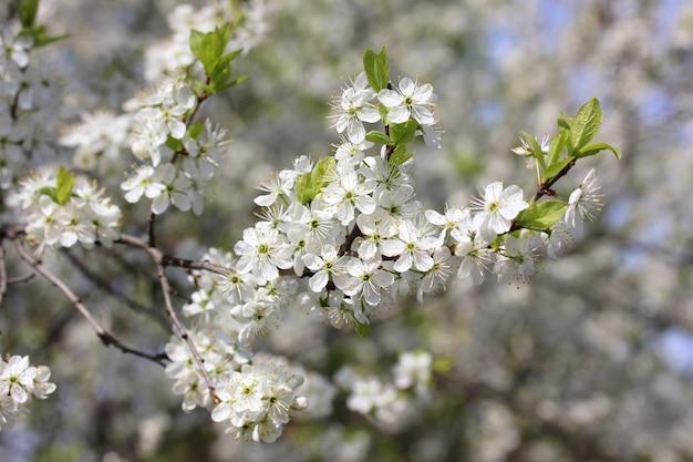 Kwitnąca gałąź śliwki z białymi kwiatostanami