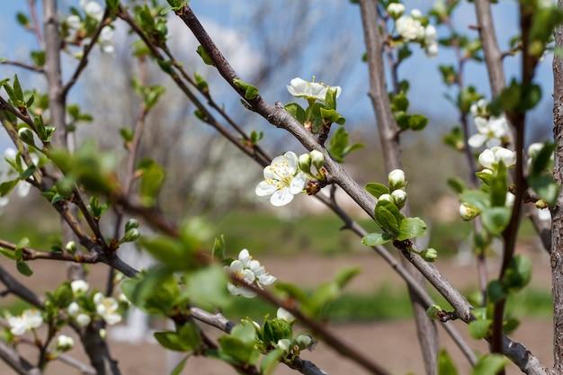 Kwitnąca gałąź śliwki. zielone liście i białe kwiaty