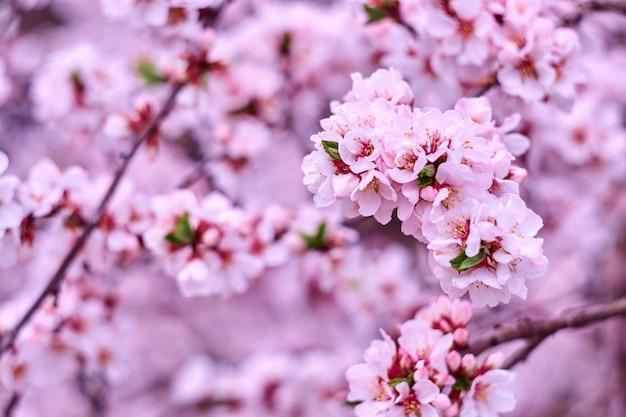Kwitnąca gałąź wiśni w ogrodzie