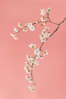 Kwitnąca gałąź wiśni z bliska na różowym tle.