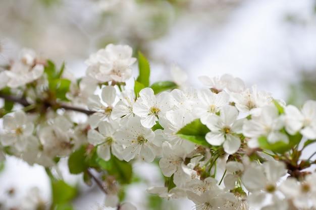 Kwitnąca gałąź wiśni. zbliżenie kwitnących drzew owocowych z białymi kwiatami wiosną na jasnym niewyraźne tło w wiśniowym sadzie, młyn cerasus vulgaris