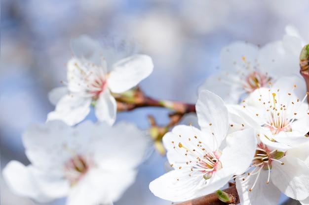 Kwitnąca gałąź z białymi kwiatami na tle nieba