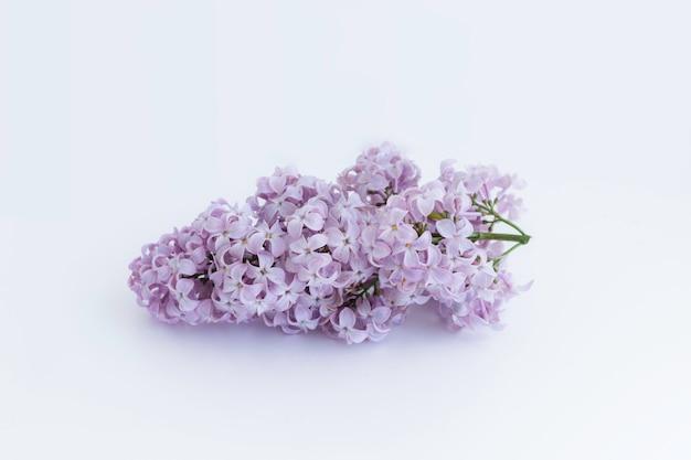 Kwitnąca gałąź z purpurowymi kwiatami bzu drzewo na bielu