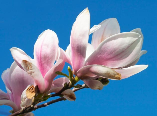 Kwitnąca gałązka drzewa magnolii na niebie