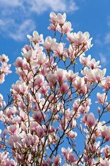 Kwitnąca gałązka drzewa magnolii na niebieskim niebie na tle chmur cloud
