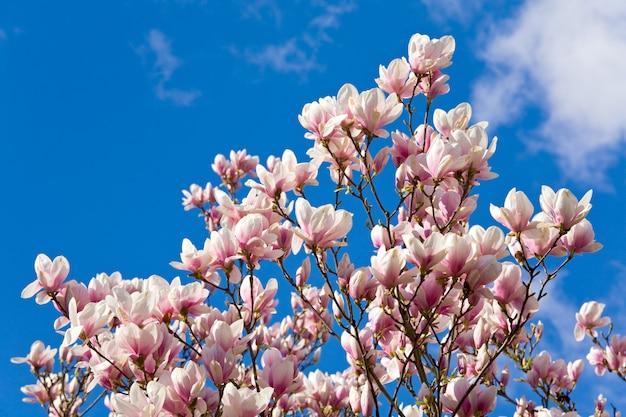 Kwitnąca gałązka drzewa magnolii na niebieskim niebie z powierzchnią chmury