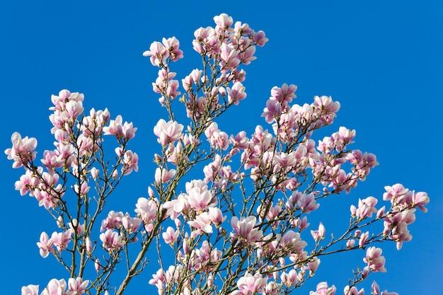 Kwitnąca gałązka drzewa magnolii na niebieskim tle jasnego nieba