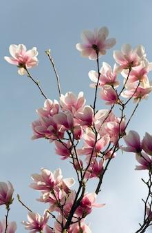 Kwitnąca gałązka drzewa magnolii na powierzchni zachmurzonego nieba