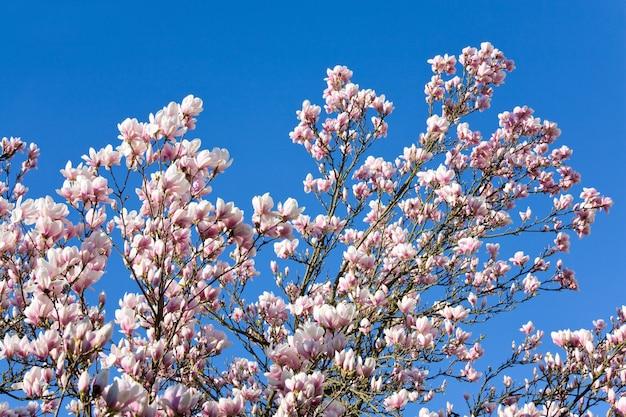Kwitnąca gałązka drzewa magnolii (na tle drzewa kwiatowego)