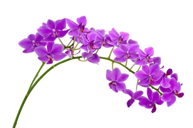 Kwitnąca gałązka fioletowej orchidei na białym tle.