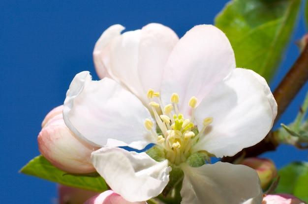 Kwitnąca gałązka jabłoni (na tle błękitnego nieba)