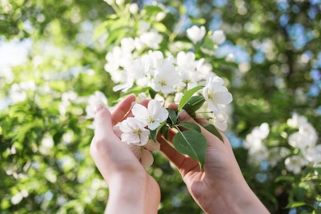 Kwitnąca gałązka jabłoni w kobiecych rękach