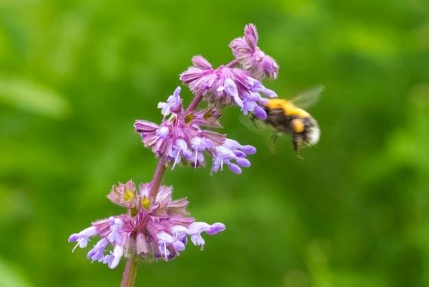 Kwitnąca gałązka szałwii i pszczoła zbierająca pyłek, na zielonym tle roślin