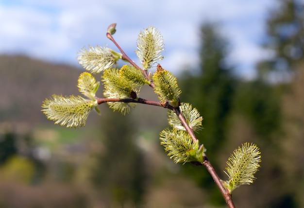 Kwitnąca gałązka wierzby z pąkami na skraju wiosennego lasu