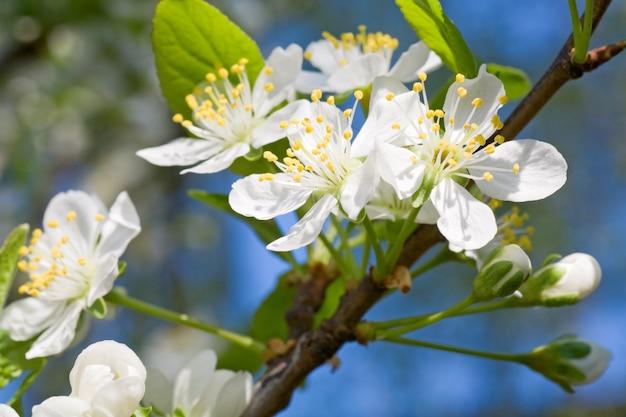 Kwitnąca gałązka wiśni (makro, na tle drzewa kwiatowego i nieba)