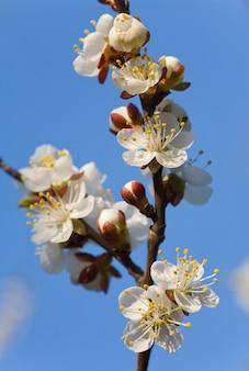 Kwitnąca gałązka wiśni na tle błękitnego nieba (złożone zdjęcie makro ze sporą głębią ostrości)