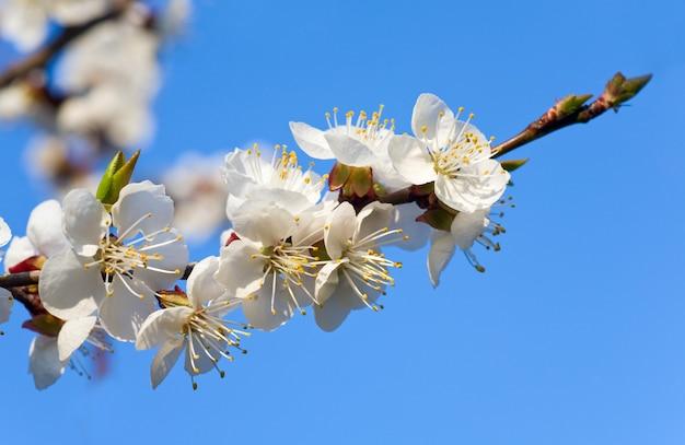 Kwitnąca Gałązka Wiśni (na Tle Kwiatów I Nieba) Premium Zdjęcia