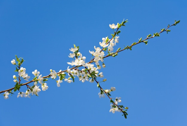 Kwitnąca gałązka wiśni (na tle kwiatów i nieba)