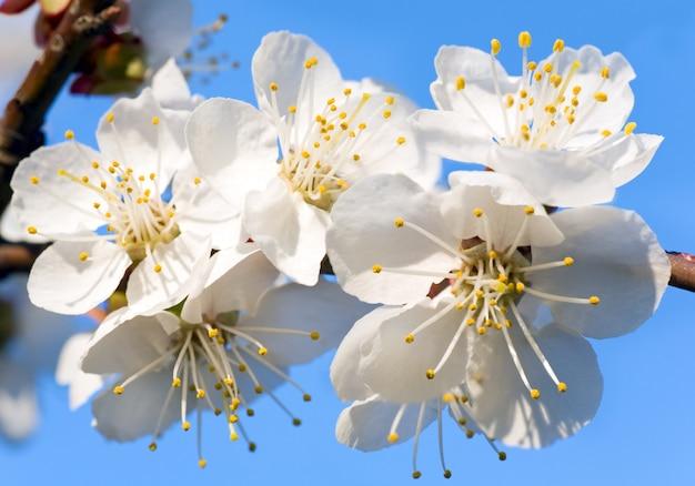Kwitnąca gałązka wiśni na tle kwitnącego drzewa i nieba (kompozytowe zdjęcie makro ze znaczną głębią ostrości)