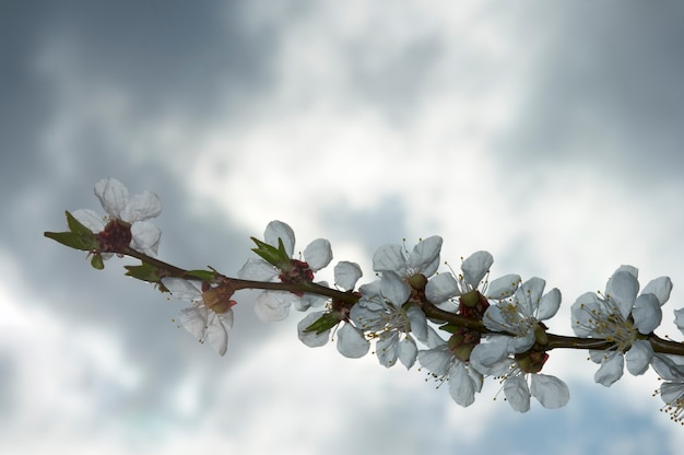 Kwitnąca gałązka wiśni (na tle zachmurzonego nieba)