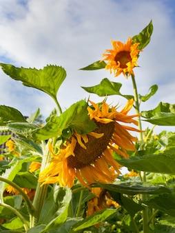 Kwitnąca głowa słonecznika na naturalnym tle. zbliżenia