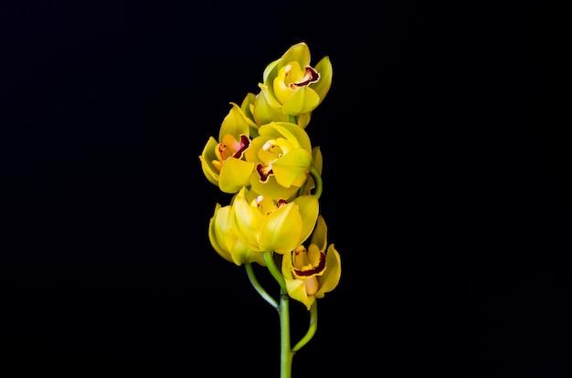 Kwitnąca Gromada Storczyków Cymbidium Koloru żółtego Na Czarnym Tle. Premium Zdjęcia