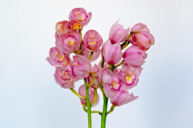 Kwitnąca gromada storczyków cymbidium w kolorze różowym na białym tle.