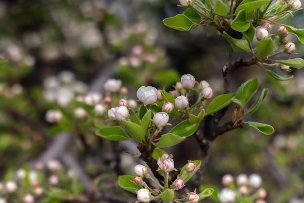 Kwitnąca grusza pokryta pąkami kwiatowymi i liśćmi