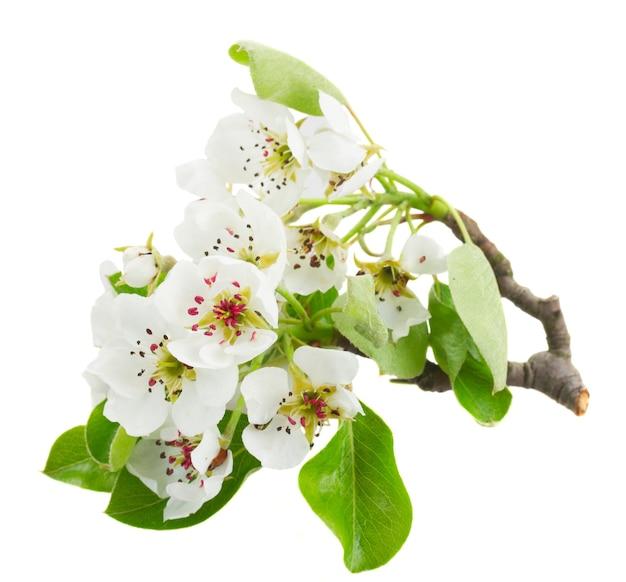 Kwitnąca jabłoń kwiaty z zielonymi liśćmi na białym tle