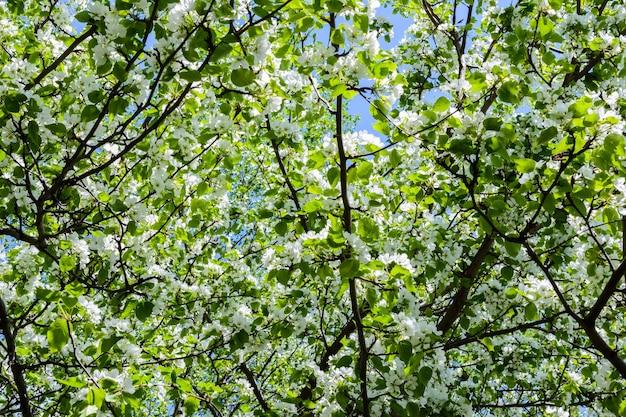 Kwitnąca jabłoń (malus prunifolia, jabłoń chińska, jabłoń chińska) rozsiewa pachnący aromat. jabłoń w pełnym rozkwicie na słońcu. zbliżenie drzewa jabłoni kwiaty. wiosna.