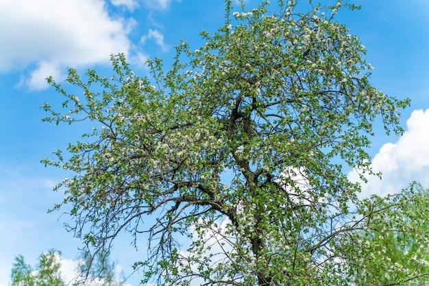 Kwitnąca jabłoń na tle błękitnego nieba z chmurami