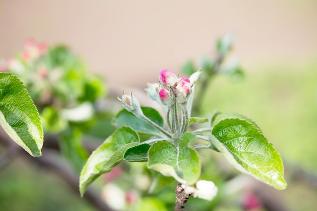 Kwitnąca jabłoń na tle przyrody. wiosenne kwiaty. tło wiosna.