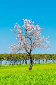 Kwitnąca jabłoń na zielonym polu