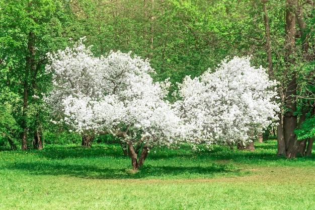 Kwitnąca jabłoń - niezwykły kształt przypomina serce w wiosennej zieleni parku.