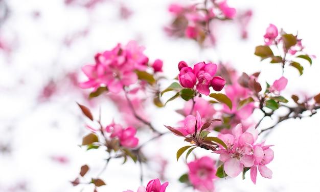 Kwitnąca jabłoń ozdobna zwana jabłkiem do gotowania. drzewo owocowe kwitnące wiosną ogród. niesamowita tapeta z pięknym zbliżeniem różowych kwiatów jabłoni krabów syberyjskich