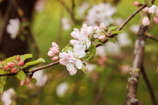Kwitnąca jabłoń tło, kartka z życzeniami. białe i różowe kwiaty na brązowych gałęziach i zielonym tle.