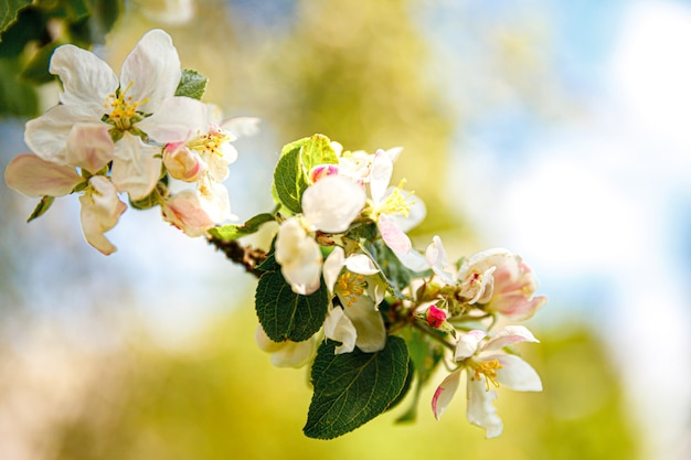 Kwitnąca jabłoń w kwitnącym wiosną ogrodzie lub parku