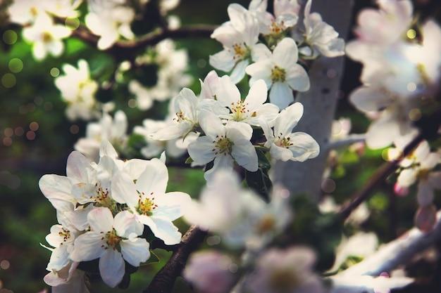Kwitnąca jabłoń w ogrodzie w wiosenny dzień.