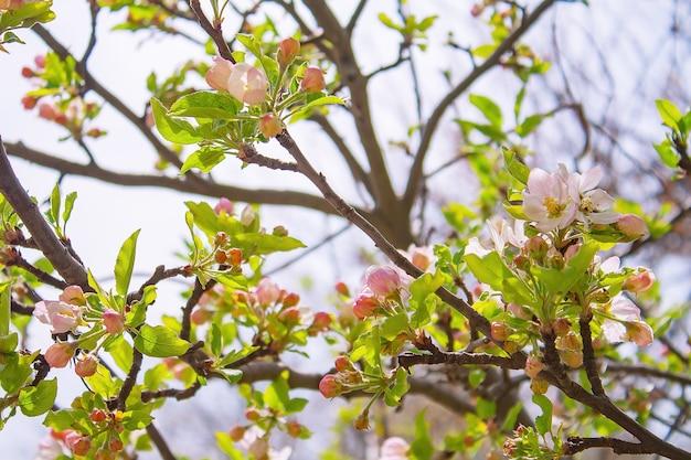 Kwitnąca jabłoń z różowymi kwiatami i zielonymi liśćmi w ogrodzie